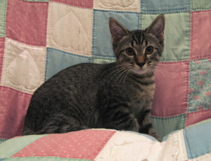 Baxter.   Male, DSH, brown tabby.  Born around May 2015.