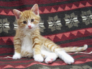 Jackson  *Update: Adopted!  Orange tabby and white, DSH, male.  Born about July 2015. 09.16.2015