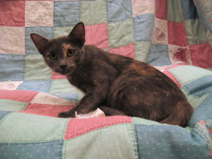 Mocha.  Female, DSH, dilute tortoiseshell.  Est. birth year 2014.