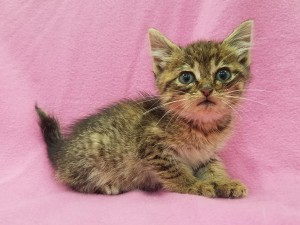***Hold until tail healed***  Adeline.  Female, domestic shorthair, patched tabby.  Born appx. April 1, 2018.  (Found with her sister Evelyn being tormented by a dog, who damaged both of their tails.)