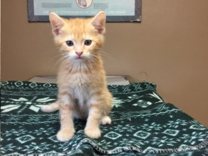 Amos.  Male, orange tabby, DSH.  Born appx. April 24, 2018.  Being fostered at Fairfax Vet.