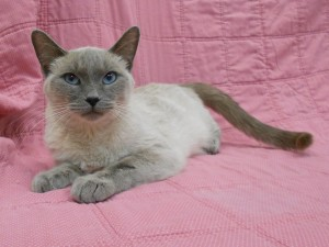 Amulet. Female/spayed, Siamese x, blue (lilac) point. Born appx. 2014.