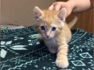 Andy.  Male, orange tabby, DSH.  Born appx. April 24, 2018.  Being fostered at Fairfax Vet.