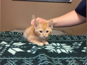 Arthur.  Male, orange tabby, DSH.  Born appx. April 24, 2018.  Being fostered at Fairfax Vet.
