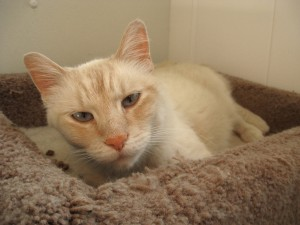 Bandit.  Male/neutered, Siamese cross, flamepoint.