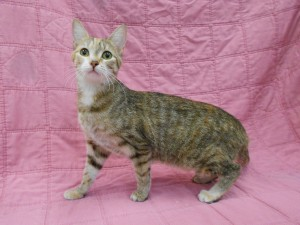 Bella.  Female/spayed, domestic shorthair, mackerel (striped) patched tabby and white.  Born appx. March 2017.