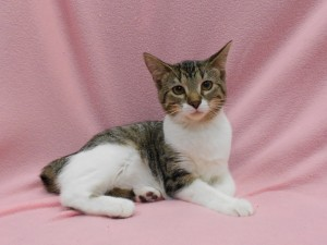 Bonnie.  Female/spayed, DSH/Max x, spotted brown tabby and white.  Has a natural bobtail.  Born appx. May 2017.