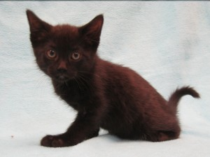 Brody.  Male, domestic shorthair, black. Born appx. May 9, 2017.