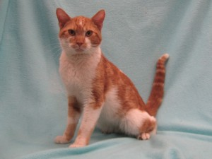 Butterscotch.  Male/neutered, domestic shorthair, classic (swirled) orange tabby and white.  Born appx. 2015.