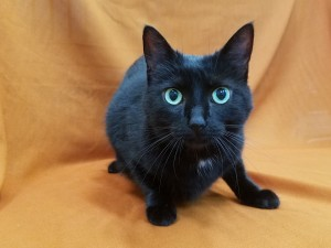 Chica. Front declawed, female/spayed, black, DSH.  Born appx. 2013.