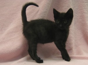 Claire.  Female, domestic shorthair, black.  Born appx. May 25, 2017.