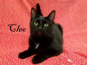 Cleo.  Female/spayed, DSH, black.  Born appx. June 20, 2017.
