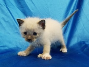 ***Ready to go July 8 when he turns 8 weeks old.*** Draco.  Male, lynx point and white (snowshoe) Siamese X, shorthaired.  Born May 13, 2018.