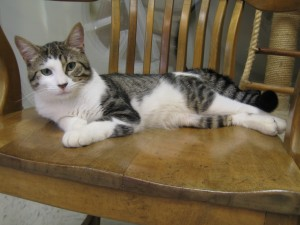 George.  Male/neutered, domestic shorthair, mackerel (striped) brown tabby and white.  Born appx. Oct. 2016.
