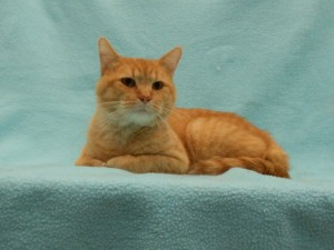 Gerome.  Male/neutered, DSH, orange tabby.  Born appx. 2016.