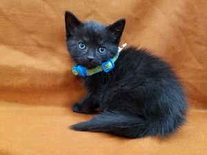 Gouda.  Male, black, DSH.   Born appx. May 28, 2018.  Ready to go July 23 when 8 weeks old.