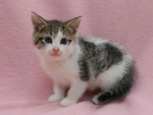Grace. Female, DSH, mackerel (striped) brown tabby and white.  Born at the shelter to Faith, beg, of Aug., 2017.