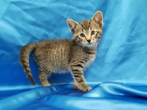 Hannigan.  Male, DSH, brown tabby.  Born appx. April 6, 2018.