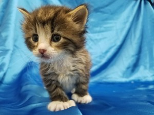 ***Ready to go July 8 when he turns 8 weeks old.*** Harry. Polydactyl.  Male, brown tabby and white, longhaired.  Born May 13, 2018.