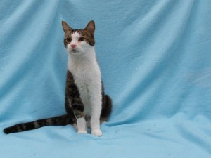 Jasper.  Male/neutered, DSH, classic (swirled) brown tabby and white.  Born appx. 2013.