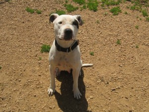 Karma.  Female, American Staffordshire terrier, white and black.  Born appx. spring 2016.