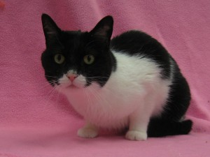Katy Purry.  Female/spayed, front declawed, domestic shorthair, black and white.  Born appx. 2009.