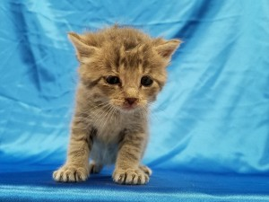 Lassen.  Male, DSH, blue tabby.  Born appx. May 15, 2018.  Available after July 3, 2018 ( when he's 8 wks old.)