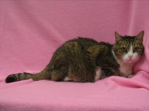 Lucky.  Female/spayed, DSH, mackerel (striped) cinnamon tabby and white.  Born appx. 2007.