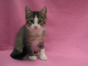 Lucy. Ticked brown tabby and white, female, domestic shorthair. Born at shelter to Peppermint Patty April 2017.