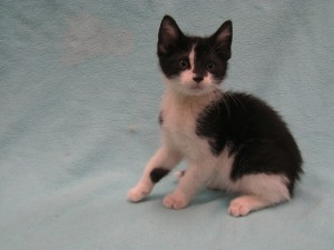 MJ.  Male, domestic shorthair, black and white.