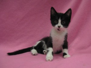Marcie. Black and white tuxedo, female, domestic shorthair. Born at shelter to Peppermint Patty April 2017.