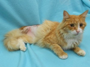 ***Special needs:  Missing a hind leg.***  Morris.  Male/neutered, DLH, orange tabby.  Born appx. 2014.