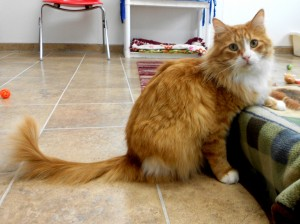 Morris ***Special needs:  Missing a hind leg.***  Morris.  Male/neutered, DLH, orange tabby.  Born appx. 2014.