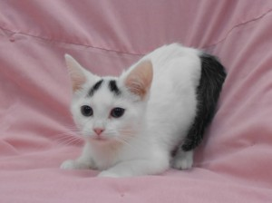 Pansy.  Female, DSH, black and white.