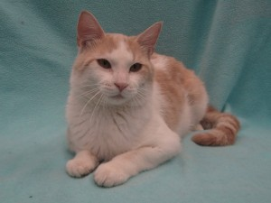 Peanut Butter.  Male/neutered, domestic shorthair, cream tabby and white.  Born appx. 2015.