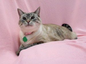 Phoenix.  Front declawed, female/spayed, lynx point shorthaired siamese x.  Born in 2012.
