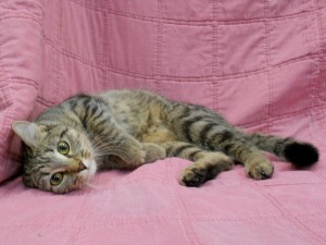 Prudence.   Female, DSH, mackerel (striped) brown tabby.  Born at the shelter to Faith, beg, of Aug., 2017.