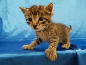 Rainier. Polydactyl, Male, DSH, brown tabby.  Born appx. May 15, 2018.  Available after June 3, 2018 ( when he's 8 wks old.)