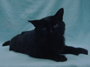 ***Special Needs:  FelV+*** Shadow.  Male/neutered, DSH, black with aqua eyes.  Born appx. 2014.