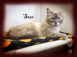 Star Female/spayed, lilac lynx point Siamese/domestic longhair cross.  Born appx 2014.