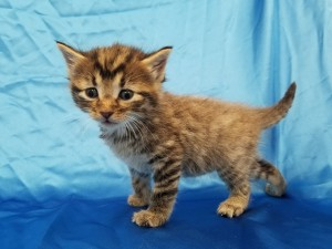 ***Ready to go July 8 when he turns 8 weeks old.*** Weasley.  Male, brown tabby, longhaired.  Born May 13, 2018.