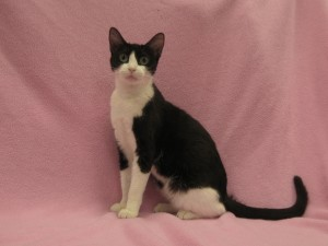 ***On hold:  Pregnant.*** Zoey.  Female, domestic shorthair/oriental cross, black and white.  Born Jan. 2016.